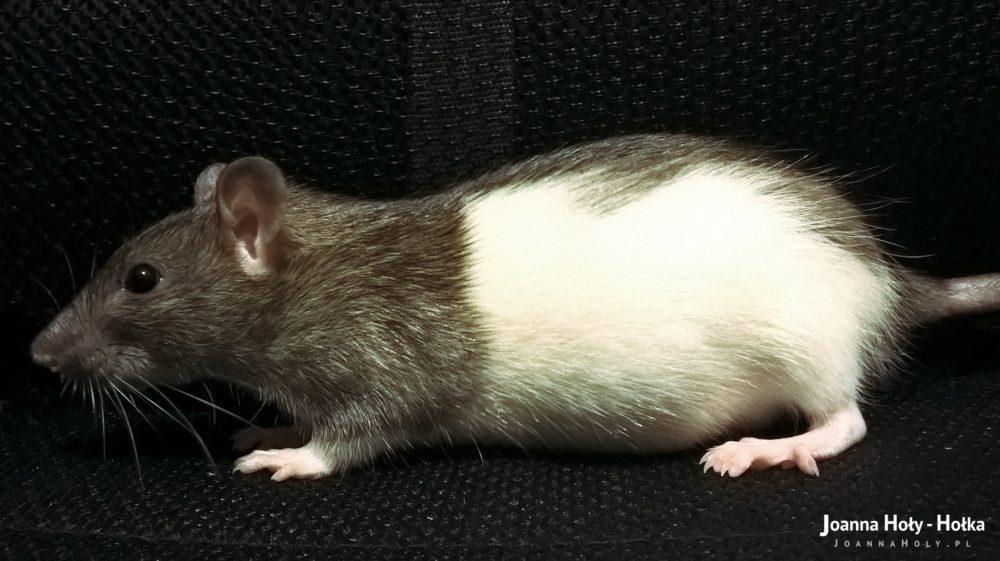 Mysza w ciąży