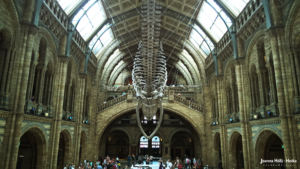 Natural History Museum - Whale back