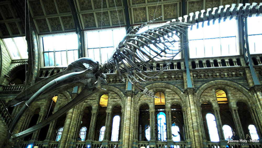Natural History Museum - Whale left